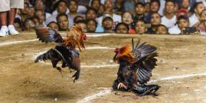 Sabung Ayam Online S128 Dan SV388 Outletoff Agen Judi Terpercaya
